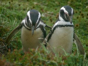 two penguins in the grass in punta arenas