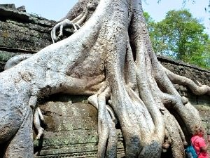 tree growing over temple in angkor wat cambodia