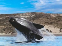 Whale spotting in Argentina | Robert Murray