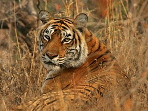 Tiger lying in the grass in Ranthambore National Park in India