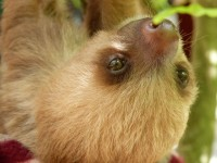 baby sloth in puerto viejo sanctuary