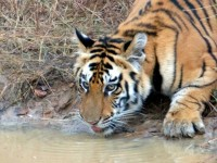 tiger drinking in panna np
