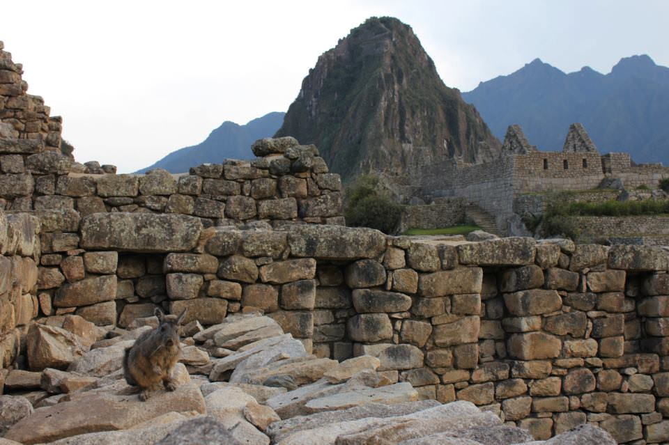 This rabbit was (almost) the only soul at Machu Picchu early morning