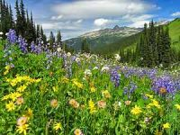 Flowers and hills of Whistler